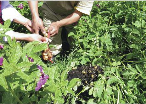 Two farmers pick potatoes from vegetable garden