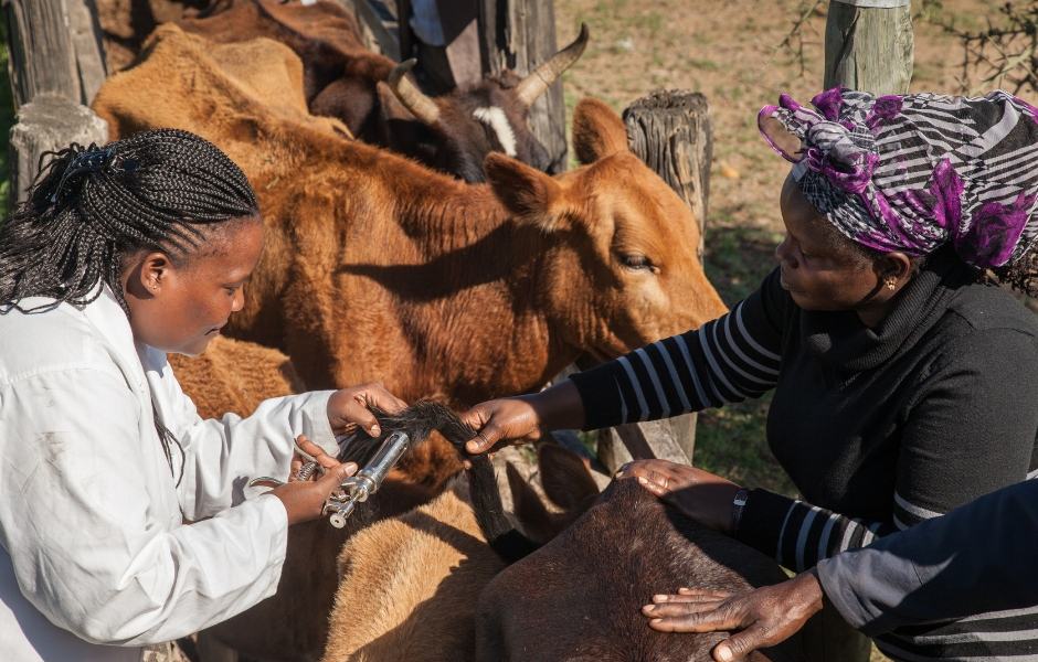 Veterinary Assistant giving the BCPP vaccine through the tail to cattle,while Dr. Ramona Ndanyi watches.