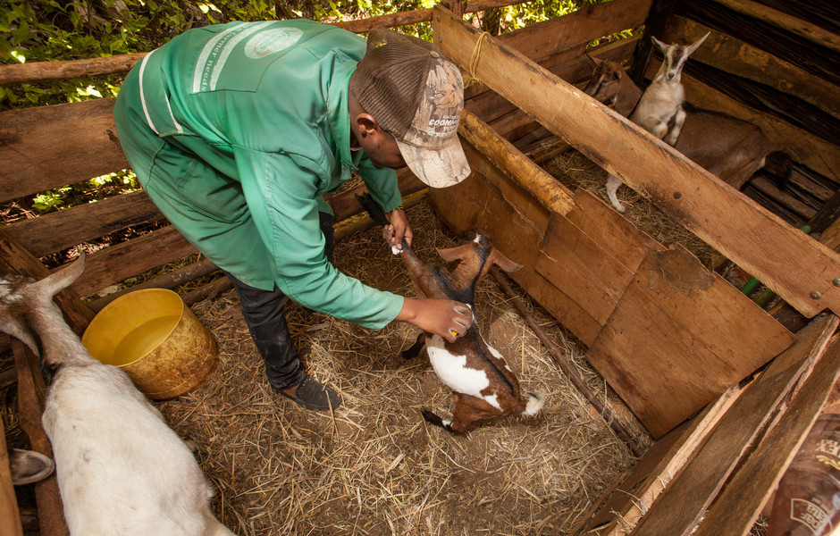 Farm Shop assistant William Muchai, who was trained to provide clinical services, tends to a customer's goats by applying tick and anti-infestation powder.
