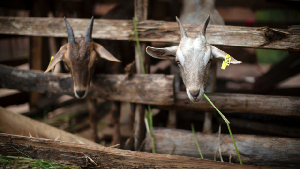 """Two dairy goats stick their heads out of their """"house"""" in Kunke Village, Mvomero District, Morogoro Region of Tanzania"""