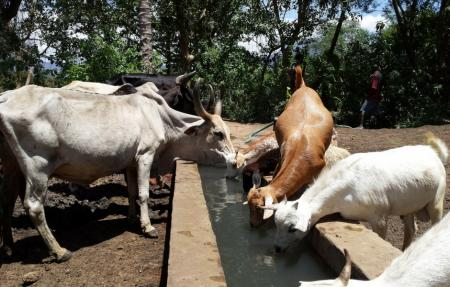 Cows and goats drinking water from a trough