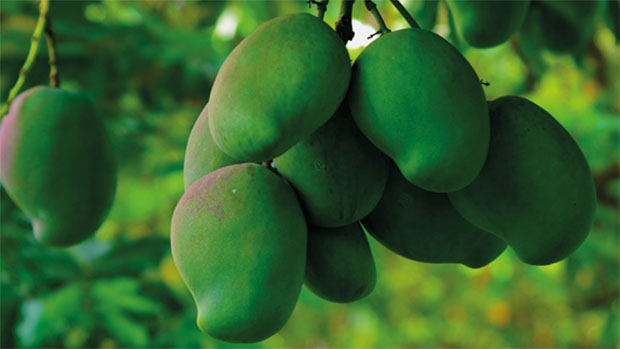 green mangoes in a mango tree