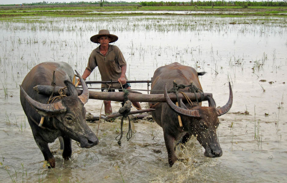 Tilling rice paddies with water buffaloes