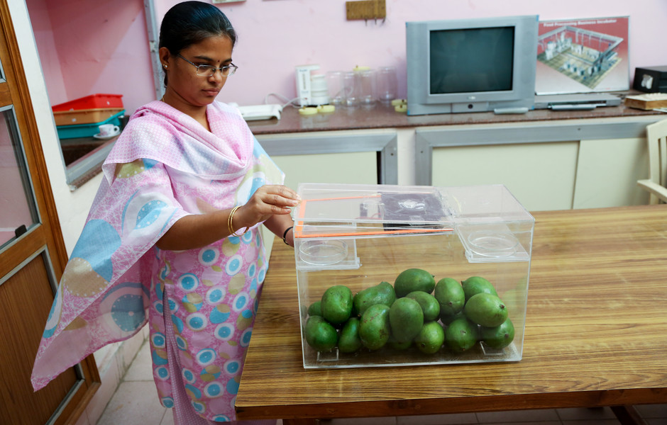 A researcher conducts a hexanal fumigation experiment on mangoes.