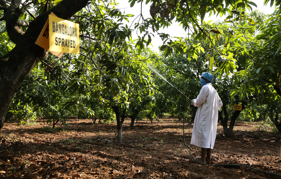 A farmer in India sprays mango trees with hexanal.