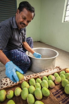 Varadharajan, a grower in the state of Tamil Nadu, dips his mangoes into hexanal-distilled liquid.