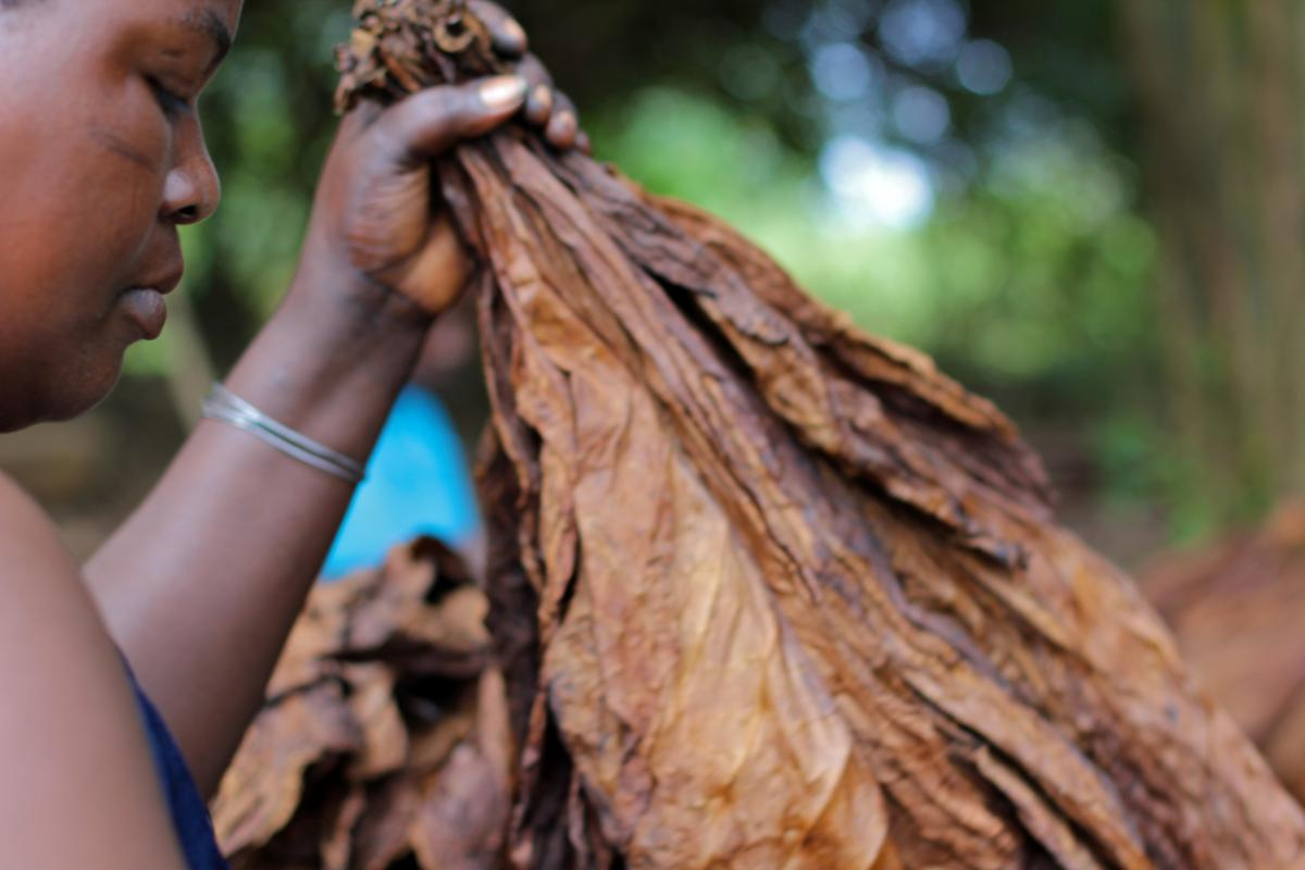 a woman sorting tobacco leaves