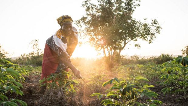 Siprosa Atieno weeds her cassava field at dawn