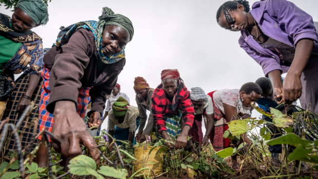 Kabefa farmers group harvesting the beans crop from farmers group plot