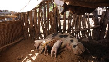 A sow lays down in a wood shelter with a metal and tarpaulin roof on sandy ground while her piglets suckle.